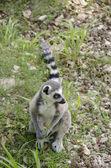 Ring tailed lemur, Lemur catta — Stock Photo