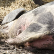 Head of a pig sleeping — Stock Photo