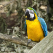Blue and yellow Macaw, Ara ararauna — Stock Photo