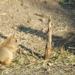 Black-tailed prairie dog — Stock Photo #32842549
