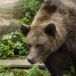Stock Photo: Brown bear, Ursus arctos