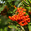 Sorbus aucuparia, rowan or mountain-ash — Photo