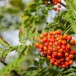 Sorbus aucuparia, rowan or mountain-ash — Стоковая фотография