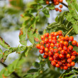 Sorbus aucuparia, rowan or mountain-ash — Stok fotoğraf