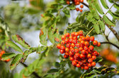 Sorbus aucuparia, rowan or mountain-ash — Stock Photo