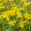 Jacobaea vulgaris, ragwort or benweed — Stock Photo