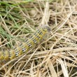 Hairy yellow caterpillar — Stock Photo
