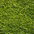 Stock Photo: Green wall background of Boston ivy
