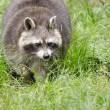 Raccoon walking through a green meadow — Stock Photo