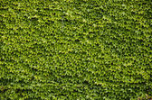 Green wall background of Boston ivy — Stock Photo