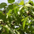 Walnut branch with ripe fruit — Foto Stock