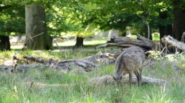 Female deers eating grass — Stock Video