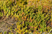 Empetrum or crowberry — Stock Photo