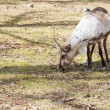Stock Photo: Reindeer, Rangifer tarandus eating grass