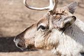 Head of a reindeer, rangifer tarandus — Stock Photo