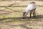 Reindeer, Rangifer tarandus eating grass — Stock Photo