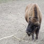 European bison (Bison bonasus — Stock Photo