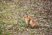 Le renard roux, vulpes vulpes — Photo