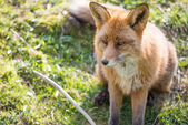 Red fox, Vulpes vulpes — Stock Photo