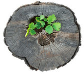 Tráva roste ze starého pařezu — Stock fotografie