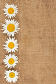 Camomile are on sackcloth — Stock Photo