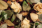 Background of dried roses — Stock Photo