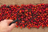 Man's hand with magnifying glass over rosehip — Stock Photo