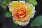 Gul ros blomma — Stockfoto