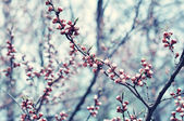 Branches of cherry — Stock Photo