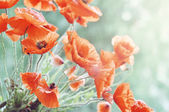 Blossom poppy — Stock Photo