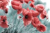 Bright red poppy — Stock Photo