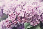 сиреневые цветы — Стоковое фото