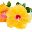 Yellow and orange Hibiscus, Tropical flowers isolated on white b — Stock Photo #27221931