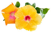 Yellow and orange Hibiscus, Tropical flowers isolated on white b — Foto de Stock