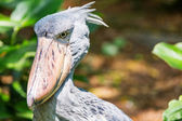 African Shoebill (Balaeniceps rex) also known as Whalehead or Sh — Stock Photo