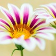 Tiger Striped Gazania flower — Stock Photo