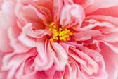 Close up heart of pink hibiscus flower — Stock Photo