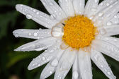 Closeup of a beautiful yellow and white Marguerite, Shasta daisy — Stock Photo