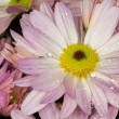 Pink English daisies (Bellis Perennis) — Stock Photo