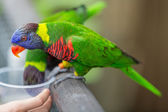 Feeding colorful lory parrots — 图库照片