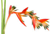 Bright orange tropical flower Bird of paradise, isolated on white — Stock Photo