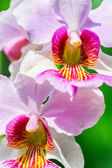 Vanda Miss Joaquim orchid , national flower of Singapore, close  — Stock Photo