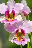 Pink Vanda Miss Joaquim orchid , national flower of Singapore, c — Stock Photo