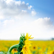 Stock Photo: Sunflower Landscape