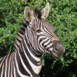 Stock Photo: Burchells Zebra