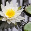 Water lily — Stock Photo #12579578