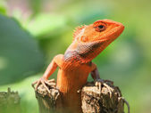 Orange lizard — Stock Photo