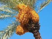 Date tree — Stock Photo