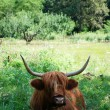 Scottish cow — Stock Photo #31630663