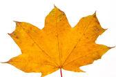 Herbst ahornblatt, isoliert — Stockfoto